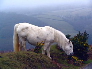 dartmoor-pony.jpg